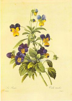 Viola tricolor Pansy Redouté Botanical Illustration | Flickr - Photo Sharing!