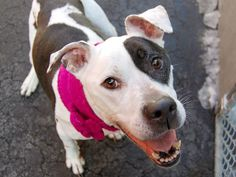 TO BE DESTROYED SAT, 3/1/14- Manhattan Center FLIGHT - A0992020 FEMALE, WHITE / BLACK, PIT BULL MIX, 6 yrs STRAY - STRAY WAIT, NO HOLD Reason STRAY Intake condition INJ MINOR Intake Date 02/19/2014, From NY 11237, DueOut Date 02/22/2014
