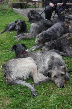 Alas - Irish wolfhounds on the grass !