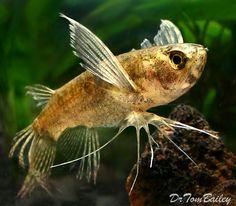 African Butterfly Fish (Pantodon buchholzi)