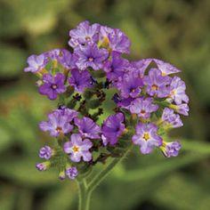 Spring Garden Flowers: 'Azure Skies' Heliotrope
