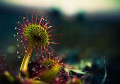 Joni Niemelä, My Macro Photos Of Alien-like Carnivorous Plants Called Drosera   Bored Panda