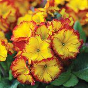 Polyanthus 'Firecracker' - 24 polyanthus plug plants