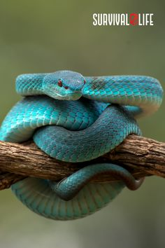 Knowing how to treat a snake bite can save lives. Less than 10 percent of venomous snake bites are lethal, but that does not mean the 90 percent are not dangerous. Here's a guide on how to do it properly. #snakebite #venomoussnakebite #snake #firstaid #survivalskills #survival #preparedness #survivallife Survival Life, Survival Skills, Types Of Snake, Snake Venom, Home On The Range, Close Encounters, Outdoor Survival, Save Life, First Aid