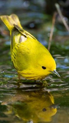 artistloveworld  Yellow warbler