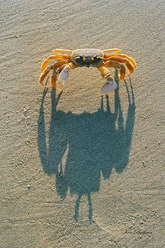 ghost crab in it's shadow