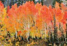 Utah aspen trees in the fall