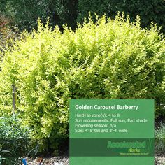 Golden Carousel Barberry