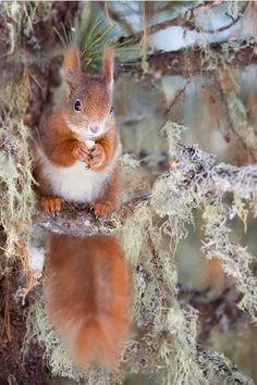 tulipnight:  Red Squirrel byStefano Ronchi