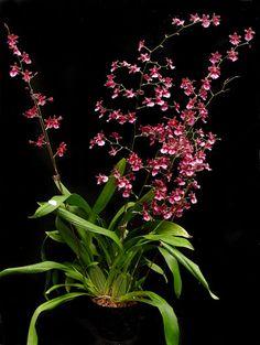 Oncidium Orchids | Oncidium orchid plant