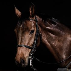 Portrait mit schwarzem Hintergrund Zebras, Photos, Horses, Portrait, Animaux, Horse Paintings, Photoshoot, Animales