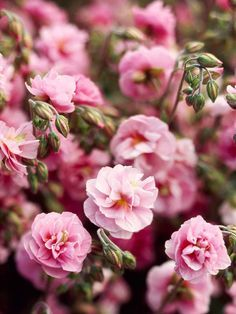 Double Rock Rose...Rock rose makes spring-flower lovers wait until late in the season for blooms, but that extra dose of patience is worth it. Double varieties such as this one supply spring and early summer with a profusion of petals on low-growing shrubs.