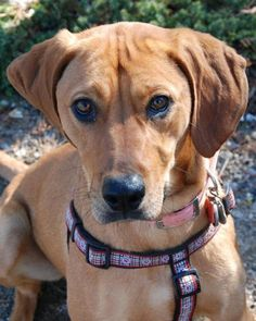 Meet ROWAN, a Petfinder adoptable Rhodesian Ridgeback Dog | Powder Springs, GA | Please contact Jennifer (daysden@live.com) for more information about this pet.Rowan is a 1 year...