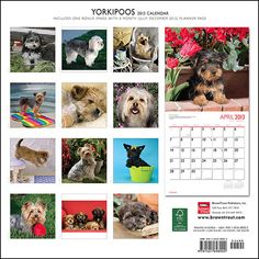 38 Best Yorkiepoo Images On Pinterest Cute Puppies Cutest Animals