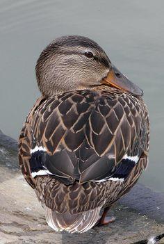 A cute, little duck