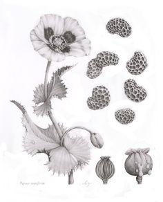 """gallusdrawseverything: """" Papaver somniferum This is an oriental poppy done for my portfolio. Fun Fact: Those lovely oriental poppies in your yard are the same species as Opium Poppies, but you'd need. Pretty Cool, How To Look Pretty, Botanical Illustration, Illustration Art, Poppy Drawing, Things Under A Microscope, Learn To Draw, Pansies, Bagels"""