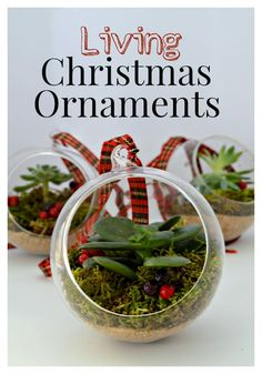 DIY living Christmas ornaments made with succulents - CHATFIELD COURT