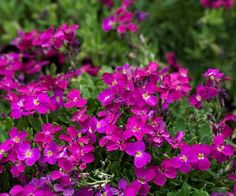 Name: Aubrieta 'Madly Magenta' Growing conditions: Full sun and well-drained soil Size: To 6 inches tall and 12 inches wide Zones: 4-9 by christa