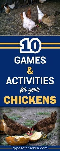 Boost the mood of your chickens with these 10 simple Games and Activities For Your Chickens! They love chicken games. #chickengames #chickenactivities #chickenkeeping #backyardchickens #typesofchicken #entertainyourchickens #homestead
