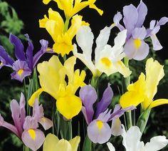 Iris_Hollandica mix planted on Nov 13th 2012 by stonewall