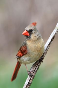 """  Northern Cardinal on 500px by Mike Bons, Canada ☀ Canon EOS 7D-f/5-1/400s-200mm-iso320, 2021✱3031px-rating:91.4 """