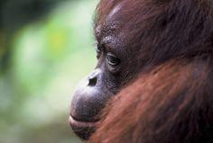 Noreen. Female Orangutan Sepilok Borneo