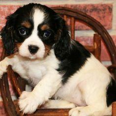Meet Lizzie, the Cavalier King Charles Spaniel.   Cuteness Level: EXPERT!