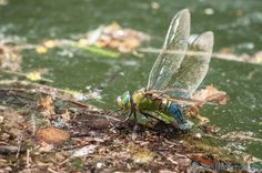 Dragonfly .libéllule Anax imperator F en ponte France | Flickr - Photo Sharing!