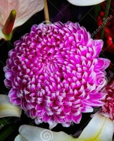 Birthday Wishes Flowers, Purple Garden, Chrysanthemums, Love Yourself Quotes, Plants, Chrysanthemum, Plant, Planets