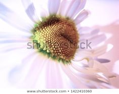 Find Close View Daisy Flower stock images in HD and millions of other royalty-free stock photos, illustrations and vectors in the Shutterstock collection. Thousands of new, high-quality pictures added every day. Textured Background, Close Up, Daisy, Photo Editing, Royalty Free Stock Photos, Spring Summer, Illustration, Nature, Flowers