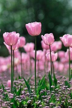 Pink tulips by Ladybumblebee
