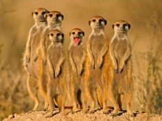 Benny and the Jets Meerkats - Pixdaus