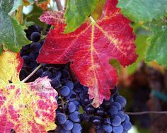 Grapes from the Guadalupe Valley.