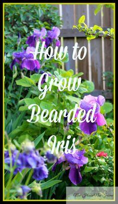how to grow bearded iris new house new home