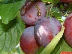 Камедетечение часто случается с косточковыми культурами. Причем появляется оно не только на стволах и побегах, но даже на плодах. Выступает камедь из ран и трещин. Часто растения вылечиваются самостоя...