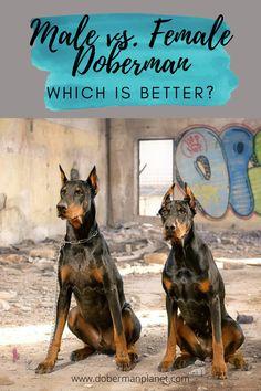 Female Doberman: Which is Better? Doberman tips. Doberman Breeders, Doberman Puppies For Sale, Doberman Dogs, Doberman Pinscher, Dogs And Puppies, American Doberman, European Doberman, Baby Deer, Animal Nursery