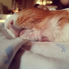 The Guinea Pig Daily: Buddy <3