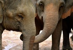A Reassuring Trunk: Evidence of Consolation in Elephants - Wired Science