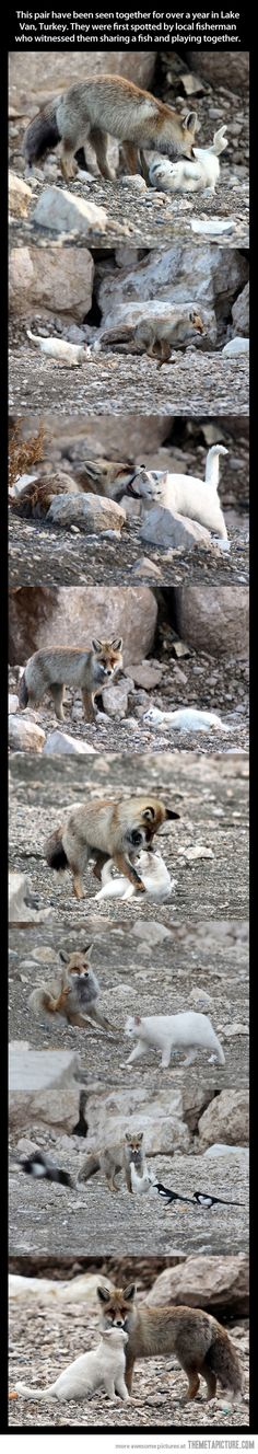 "Wild cat and fox are best friends    =^..^=Thanks, Pinterest Pinners, for stopping by, viewing, re-pinning, & following my boards.  Have a beautiful day! ^..^ and ""Feel free to share on Pinterest ^..^   #catsandme #cats #doghealthcareblog"