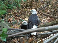 love the Bald Eagles