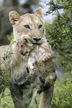 Kenya, mamma leonessa sfida le rapide e salva il cucciolo
