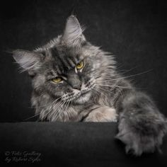 The Distinguished Playfulness of Solemn Maine Coon Cats Captured in a Fun Photo Series
