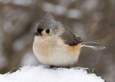 Titmouse, my favorite bird!