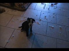 Puppies telling on each other about who made the mess
