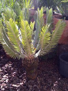 E.heenanii Sago Palm, Succulents, Noblesse, Palms, Trees, Plants, Palmas, Succulent Plants, Palm Trees