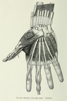 Fig. 88. Muscles of the right palm. Applied anatomy and kinesiology. 1919.