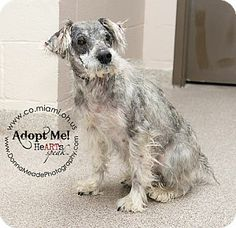 VERY URGENT! I am at a kill shelter in Troy, OH - Schnauzer (Standard). Meet Conway a Dog for Adoption.