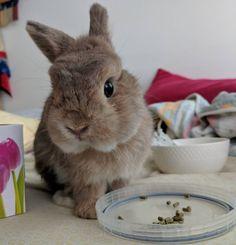 "54 mentions J'aime, 4 commentaires - Pemathepeebun (@peebunpema) sur Instagram : ""Merry Christmas everybun! Hehehe #usagi #rabbitsofinstagram #bunniesworldwide #netherlanddwarf…"""