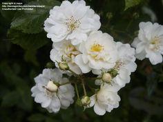 Climbing Rose 'Guirlande d' Amour', Hybridized by Louis Lens, Belgium, 1993