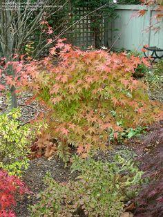 Japanese Maple 'Coral Magic' (Acer palmatum)